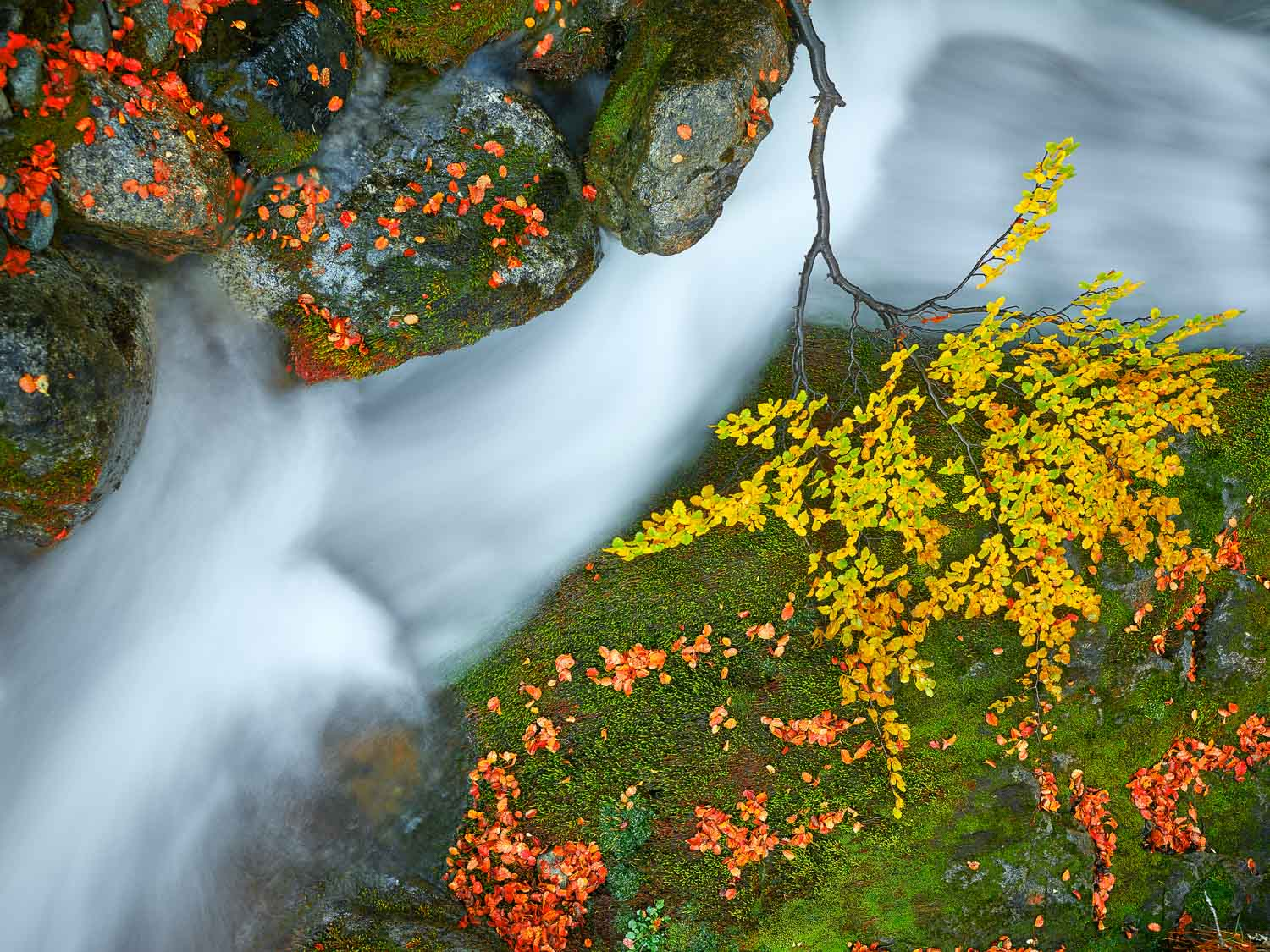 Red and gold autumn leaves frame the moss-covered bank of this stream running down to Laguna Torre, Patagonia, Argentina.