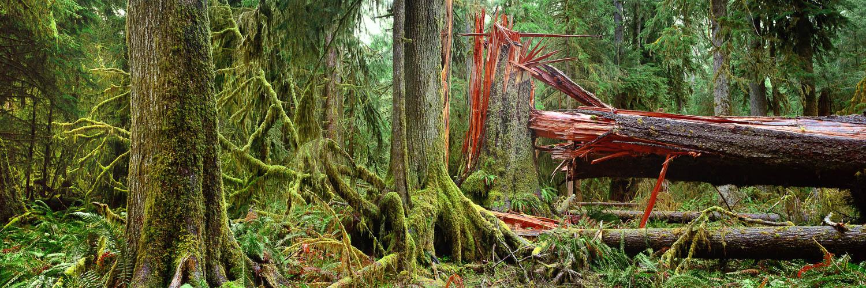 Fallen tree, Olympic National Park, Washington state, USA.