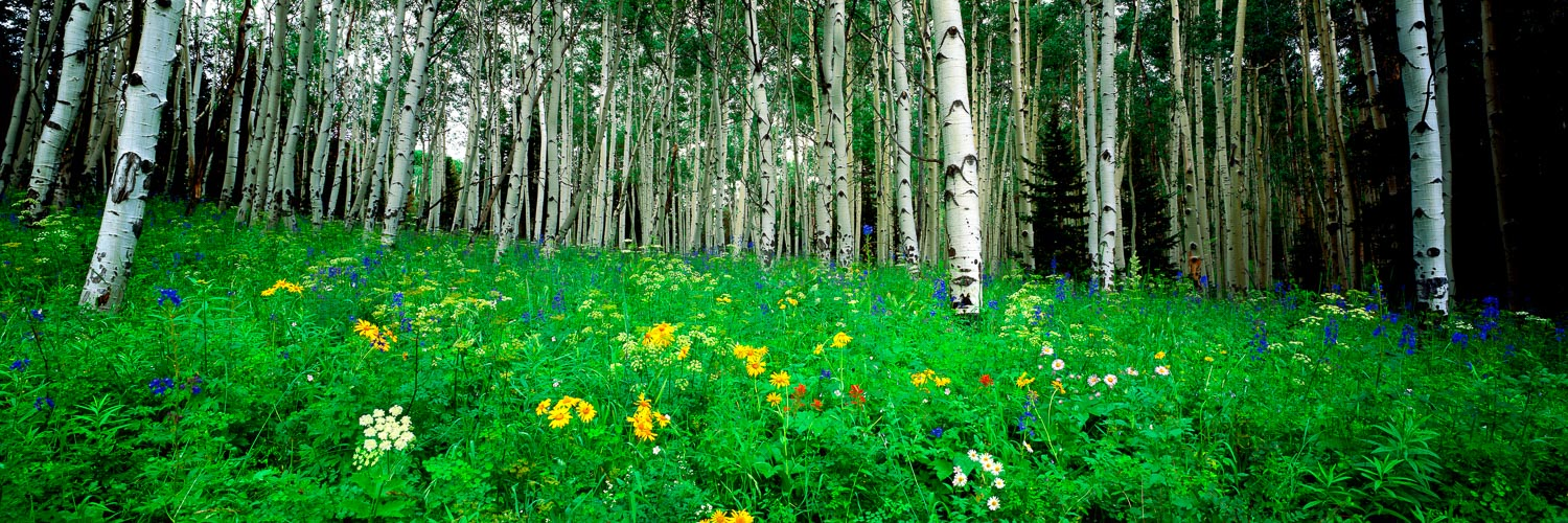 Spring wildlflowers blooming amongst a forest of aspen trees, Colorado, USA.