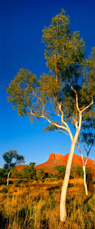 Australian eucalypts in outback Australia.