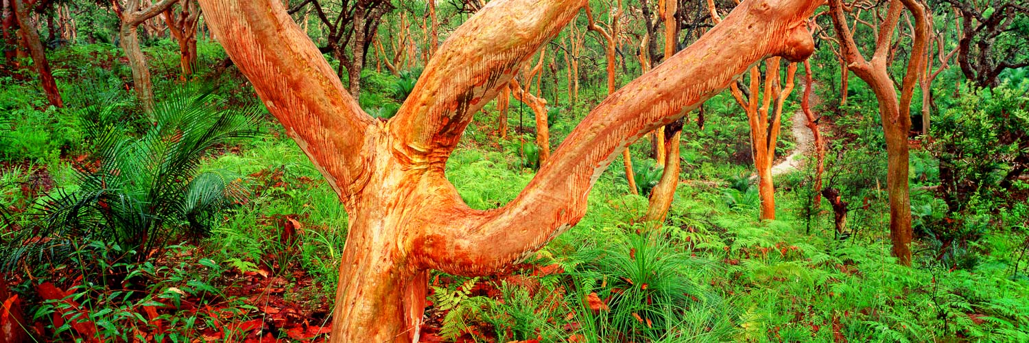 Red gums glowing in late afternoon light, Central Coast, Australia.