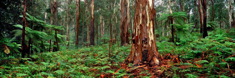 Massive ribbon gum, shedding bark, NSW, Australia.