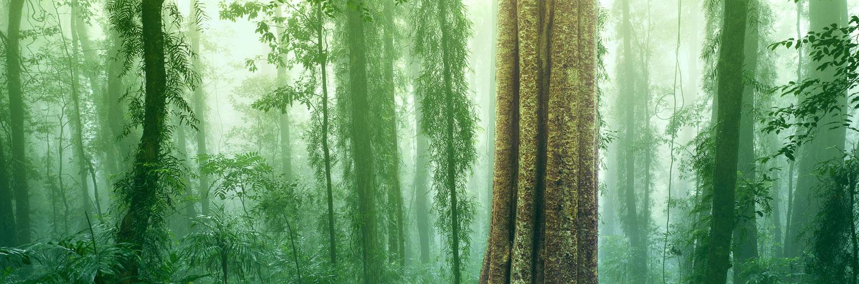 Mist amongst the trees and ferns, Dorrigo, NSW, Australia.