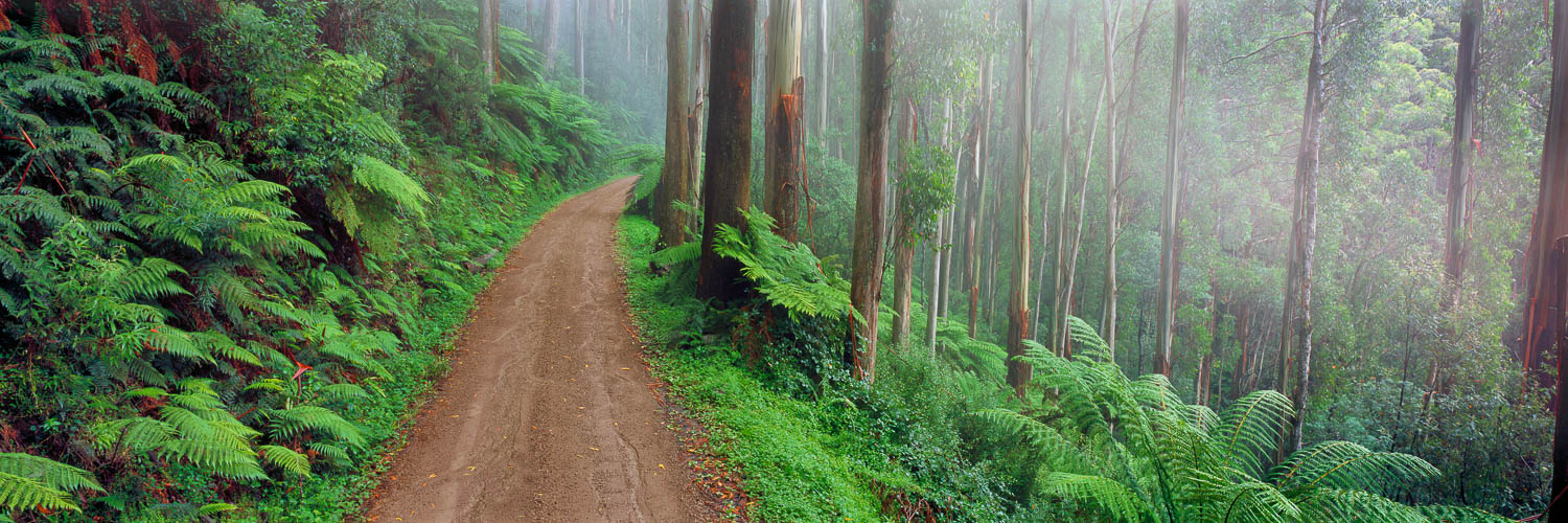 Tall trees and ferns shrouded in mist on the back road to Marysville, Victoria, Australia.