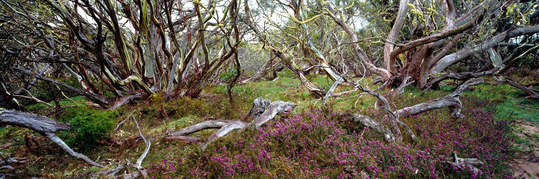 Snow gums and wild flowers in Alpine National Park, Victoria, Australia.