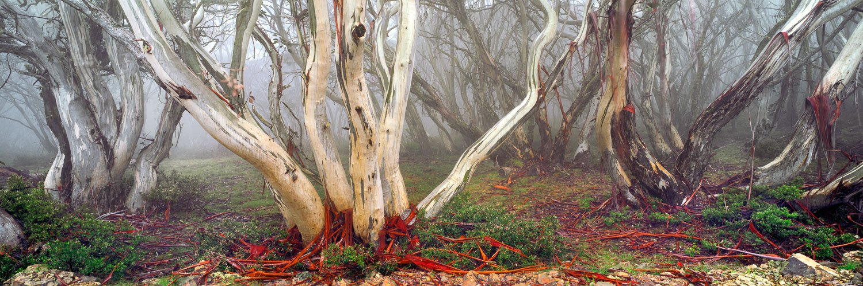 Mist amongst the snow gums, Alpine National Park, Victoria, Australia.