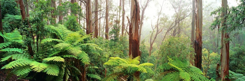 Mountain Ash trees and giant ferns surrounded by mist, Strzelecki Ranges, Vicroria, Australia.