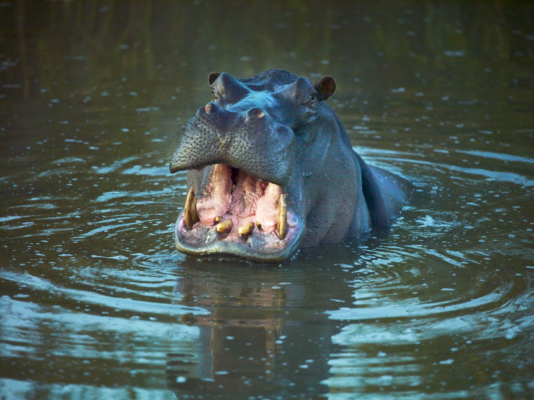 Hippo Territory