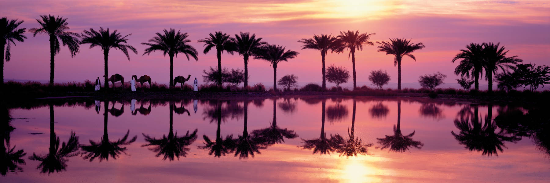 Sunset reflections of camels and pam trees in Abu Dhabi.