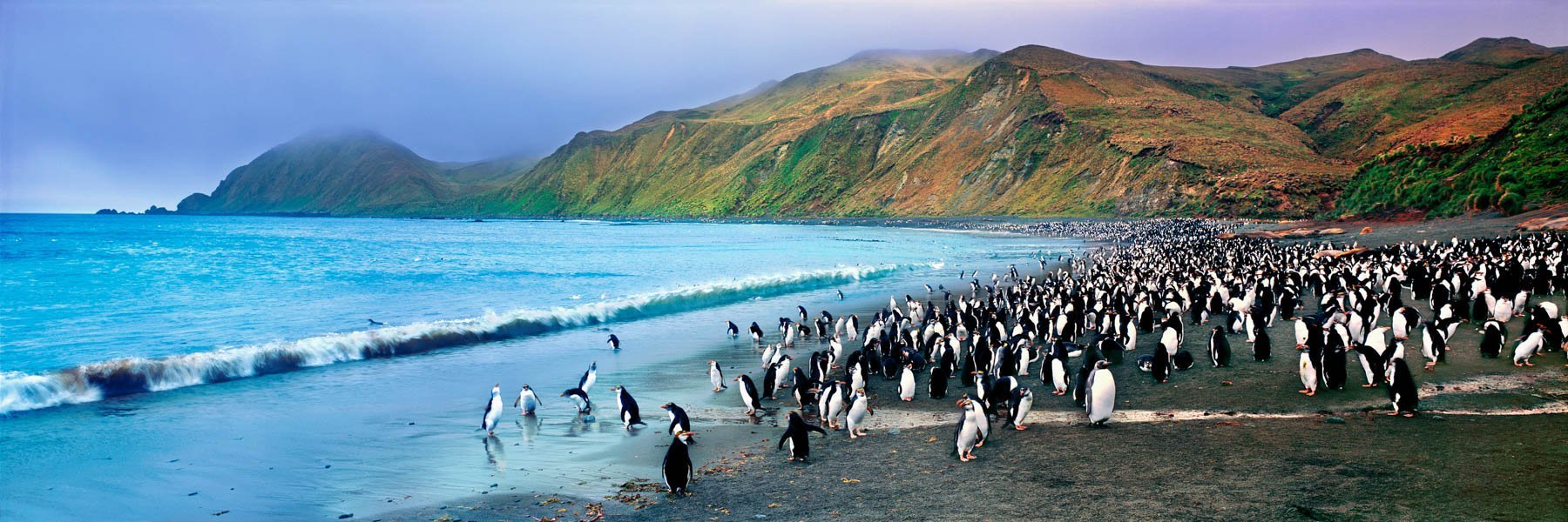 A large group of royal penguins on the shores of Macquarie Island, Australia.