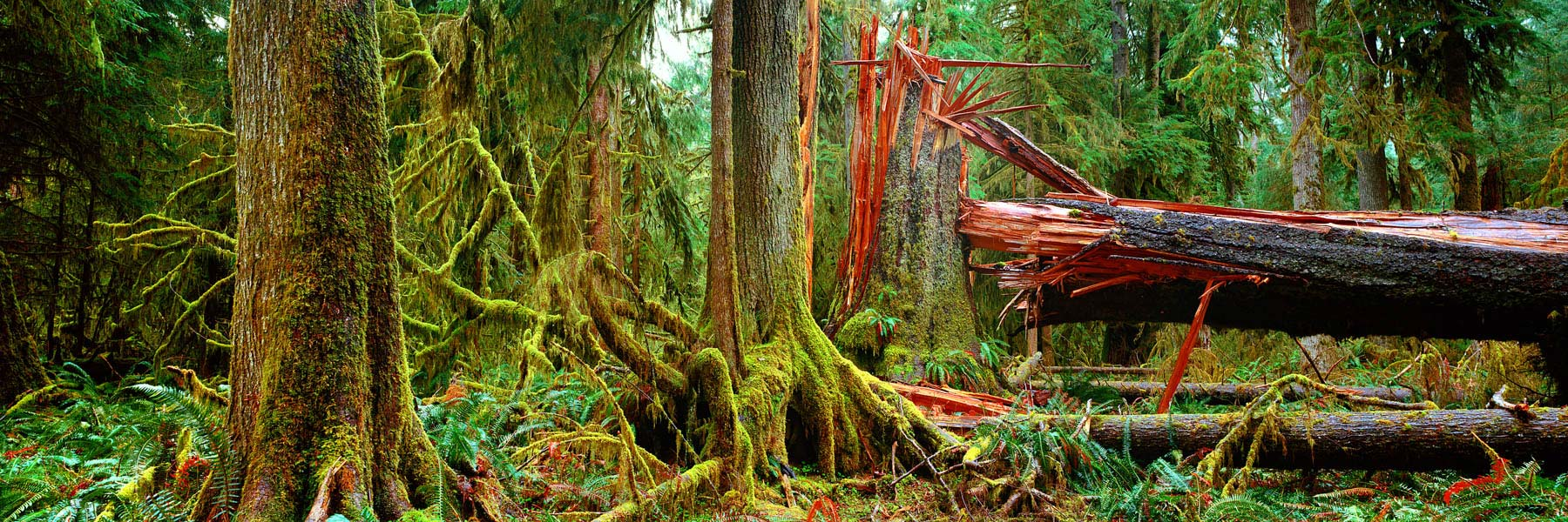 Fallen tree, Olympic National Park, Washington state, USA.