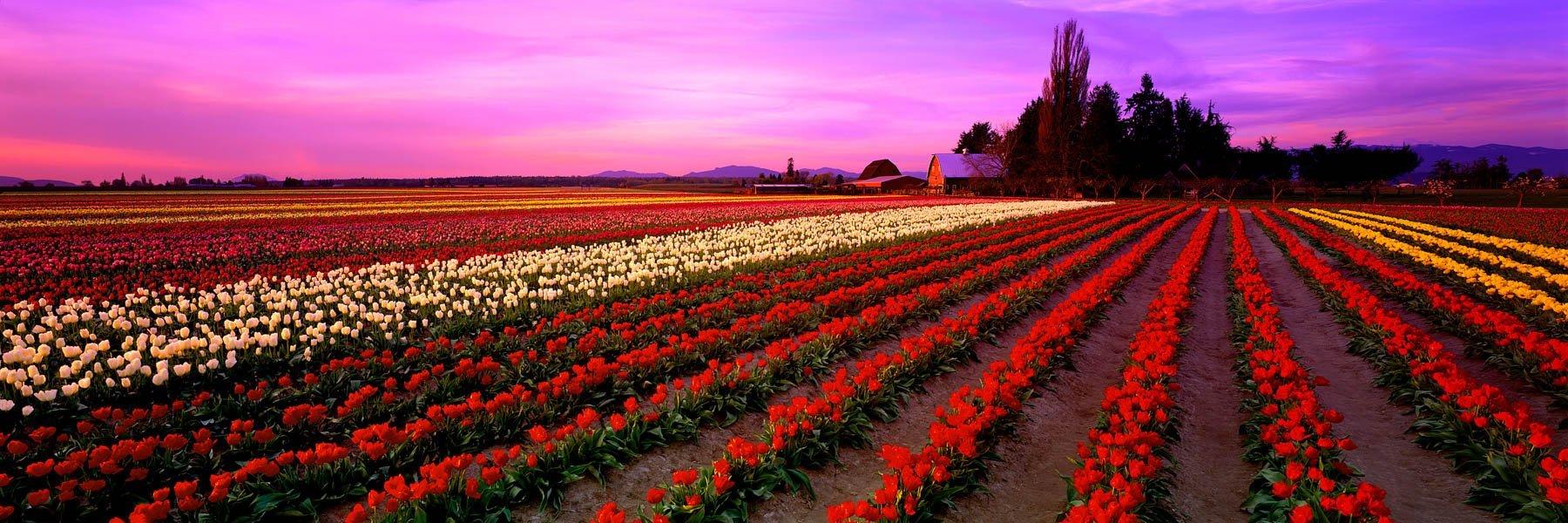 Colourful field of tulips, Skagit Valley, Washington, USA.