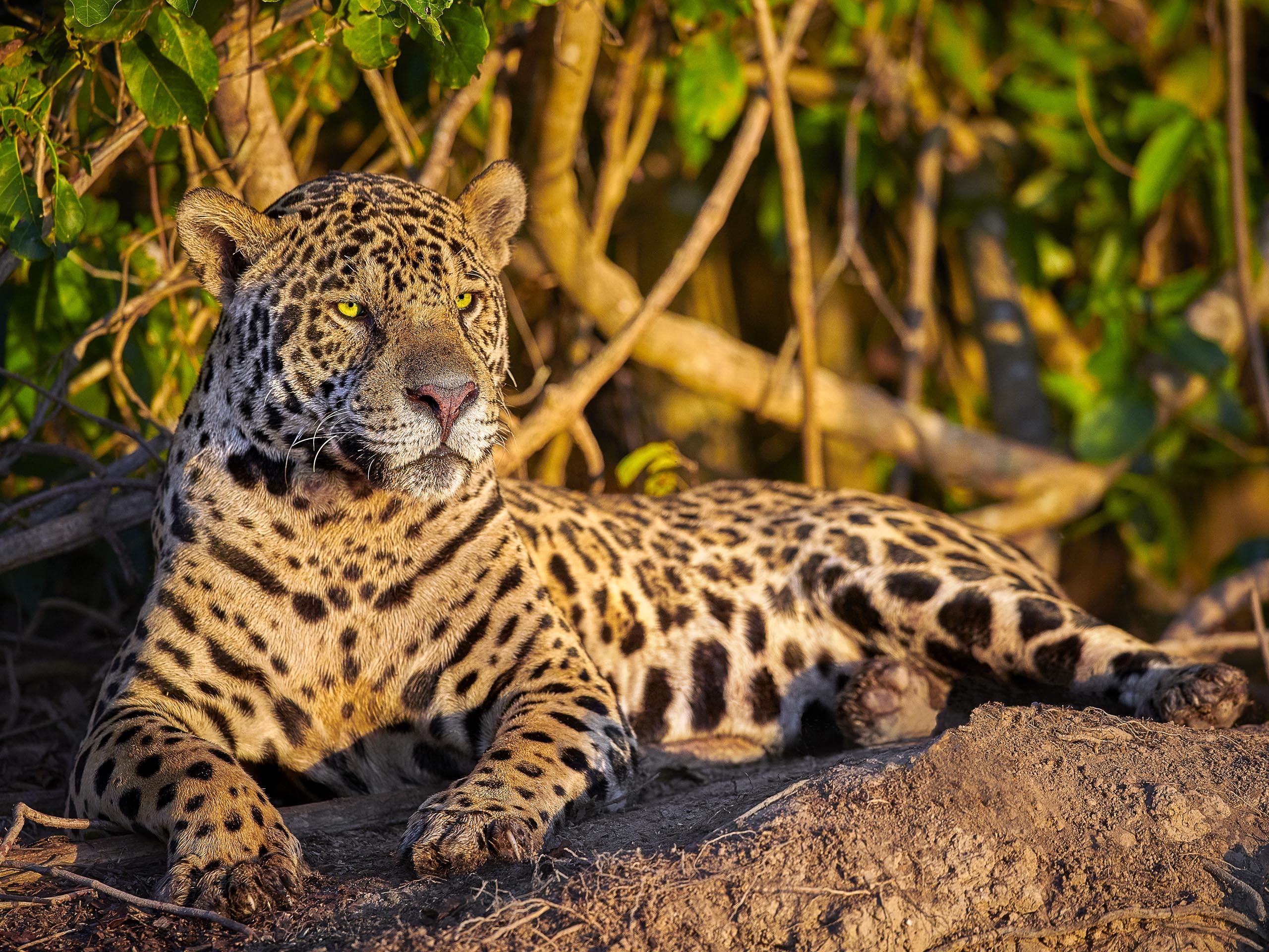 Jaguar resting on a riverbank, Pantanal, Brazil.