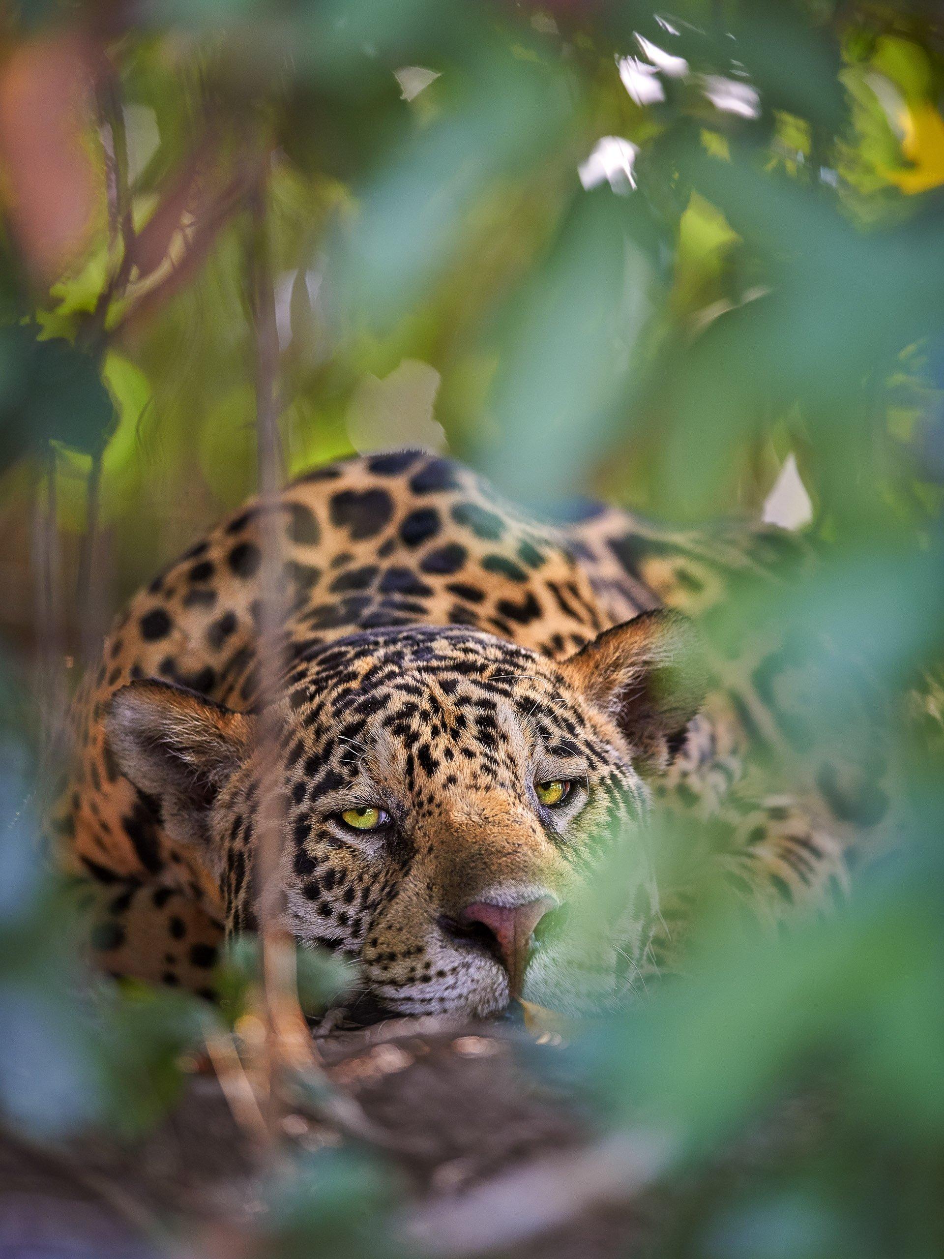 A jaguar hiding in the Amazon jungle, Brazil.