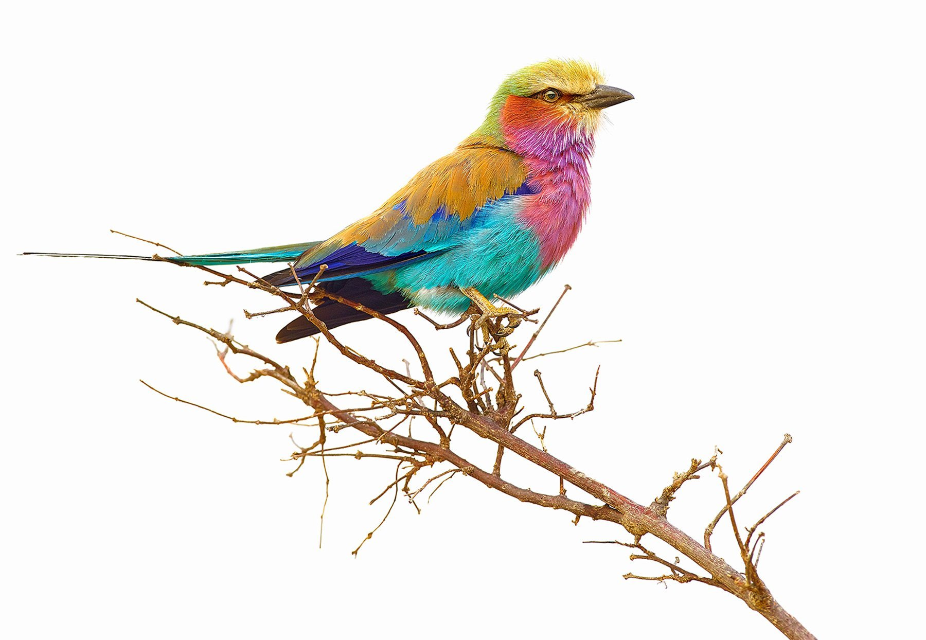Colourful lilac-breasted roller, Botswana, Africa.