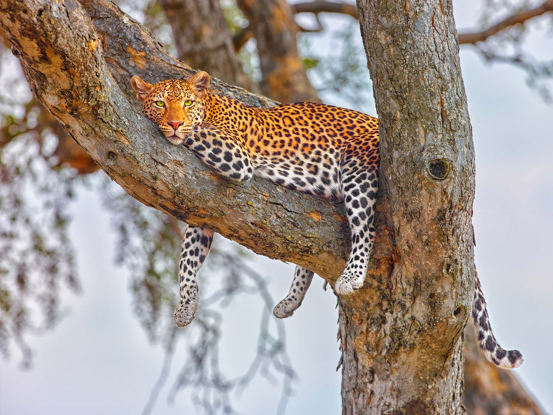 Leopard in a tree, Botswana, Africa.