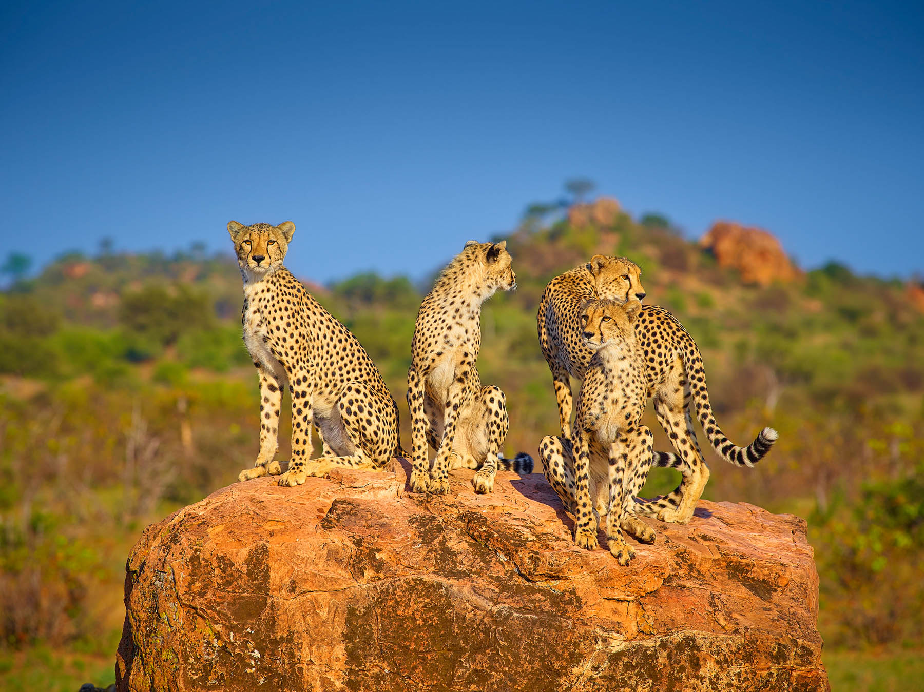 A family of cheetahs taking to the highground in search of food, Mashatu Game Reserve, Botswana, Africa.