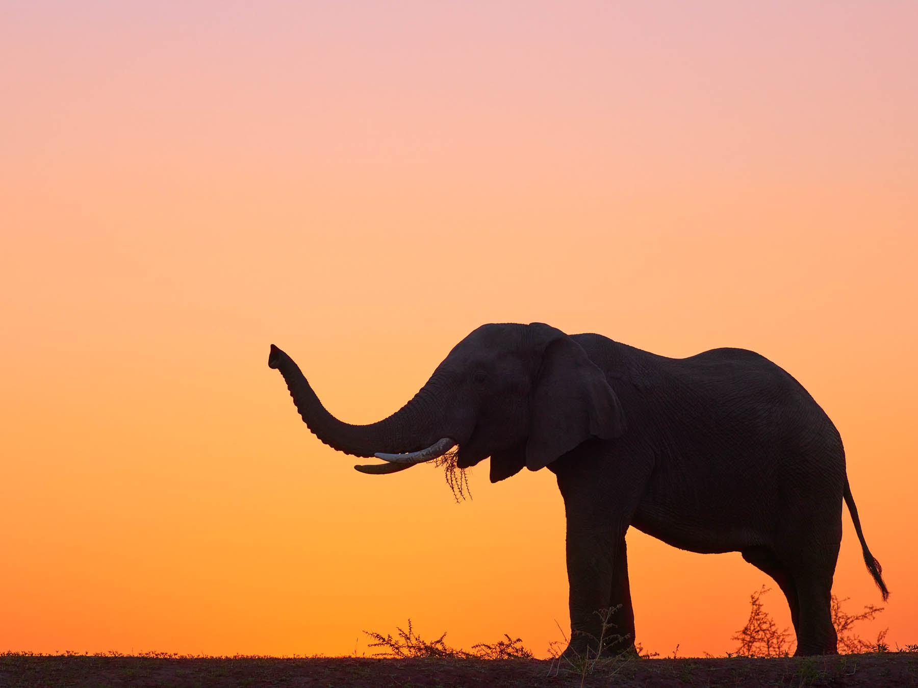 A lone elephant silhouetted against the rich sunset sky, Mashatu Game Reserve, Botswana, Africa.