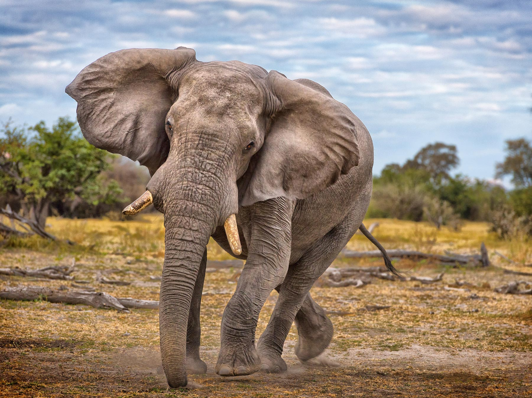 A young bull elephant in Botswana in a mock charge.