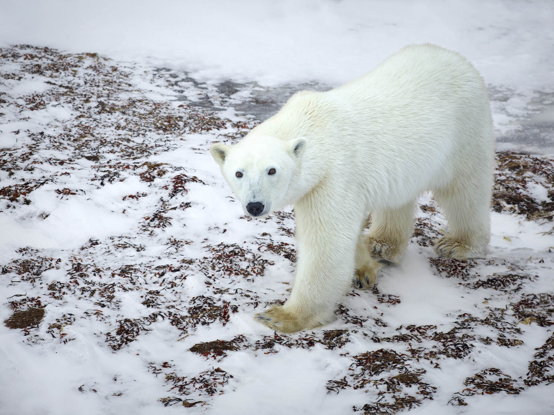 Polar bear, Churchill, Canada.