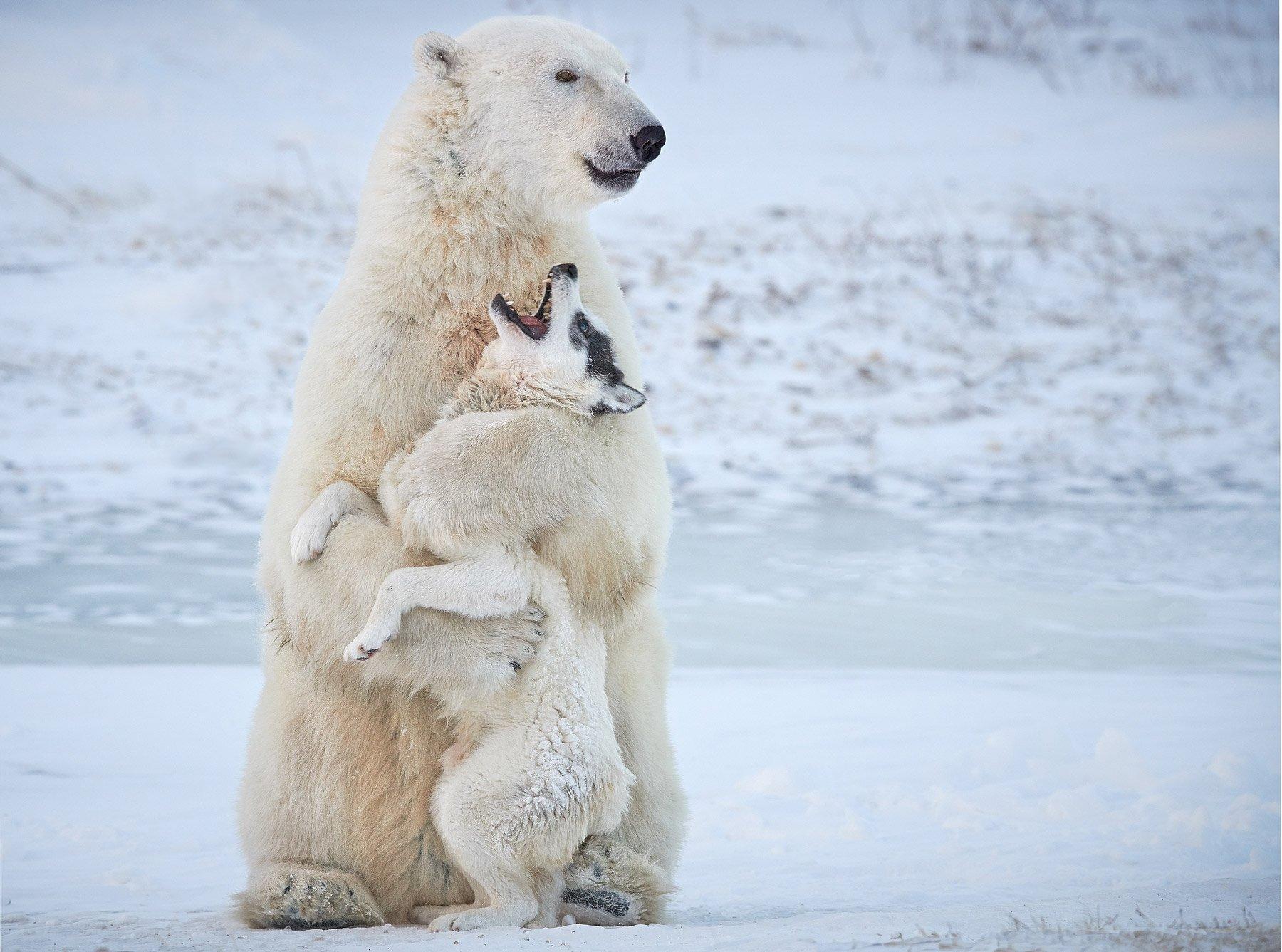 A polar bear and a husky playing, Churchill, Canada.