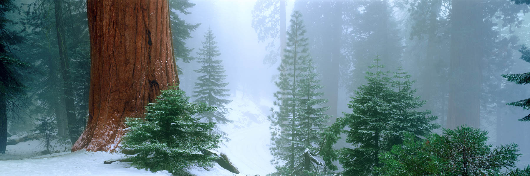 Giant sequia trees in mist and snow, California, USA.