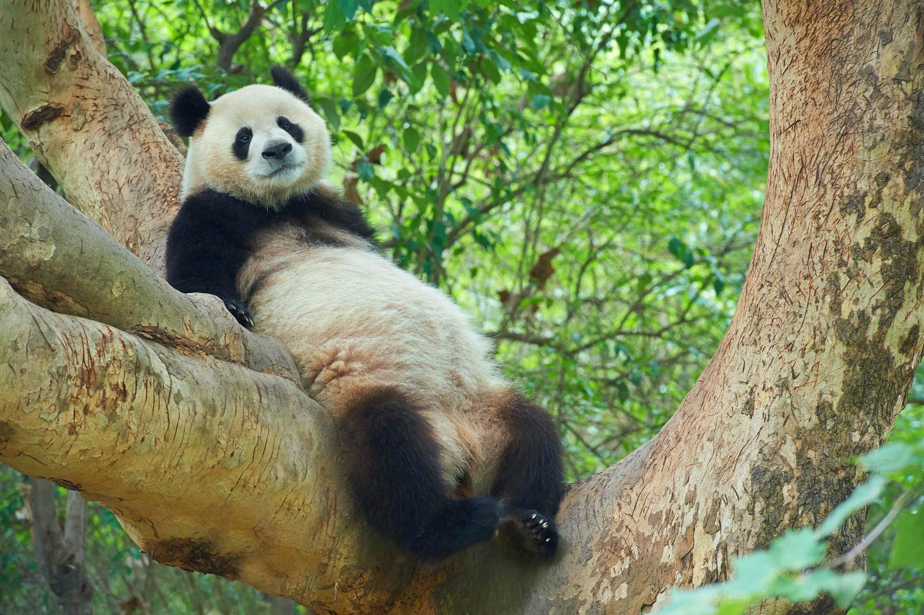 Bamboo Emperor