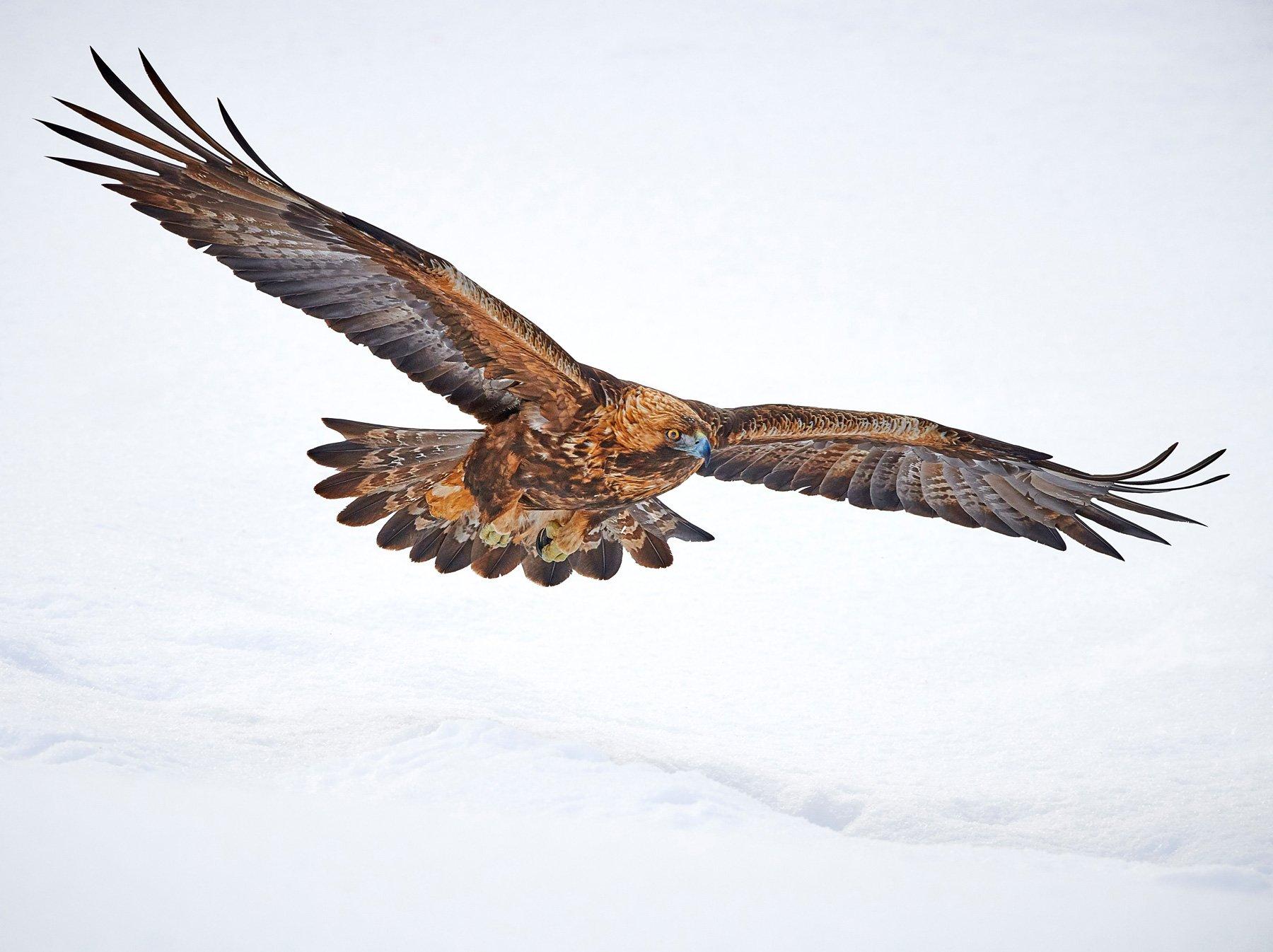A golden eagle in flight, Finland.