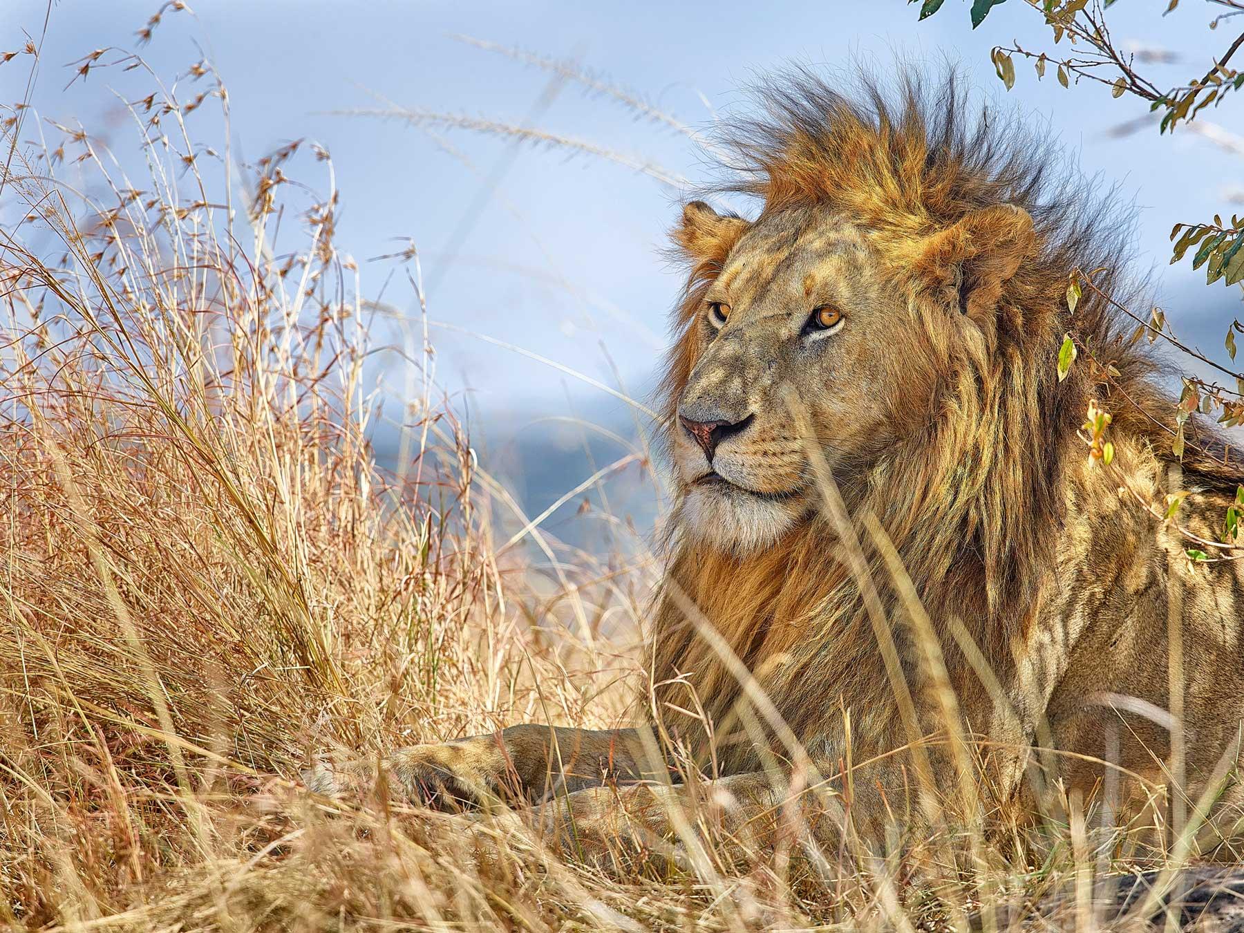 Lion, Kenya, Africa.