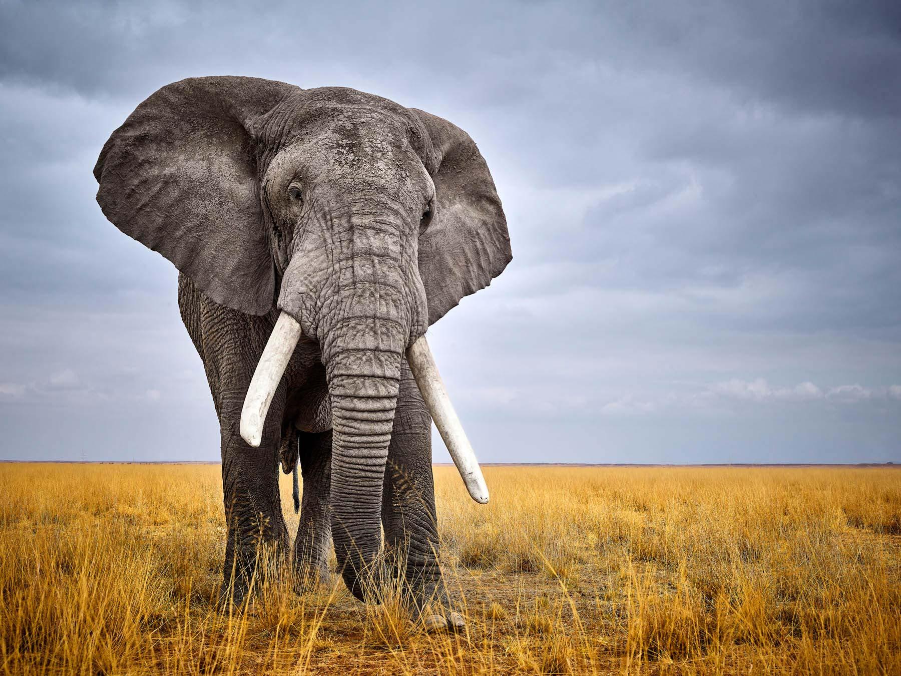 Bull elephant on the plain, Kenya.