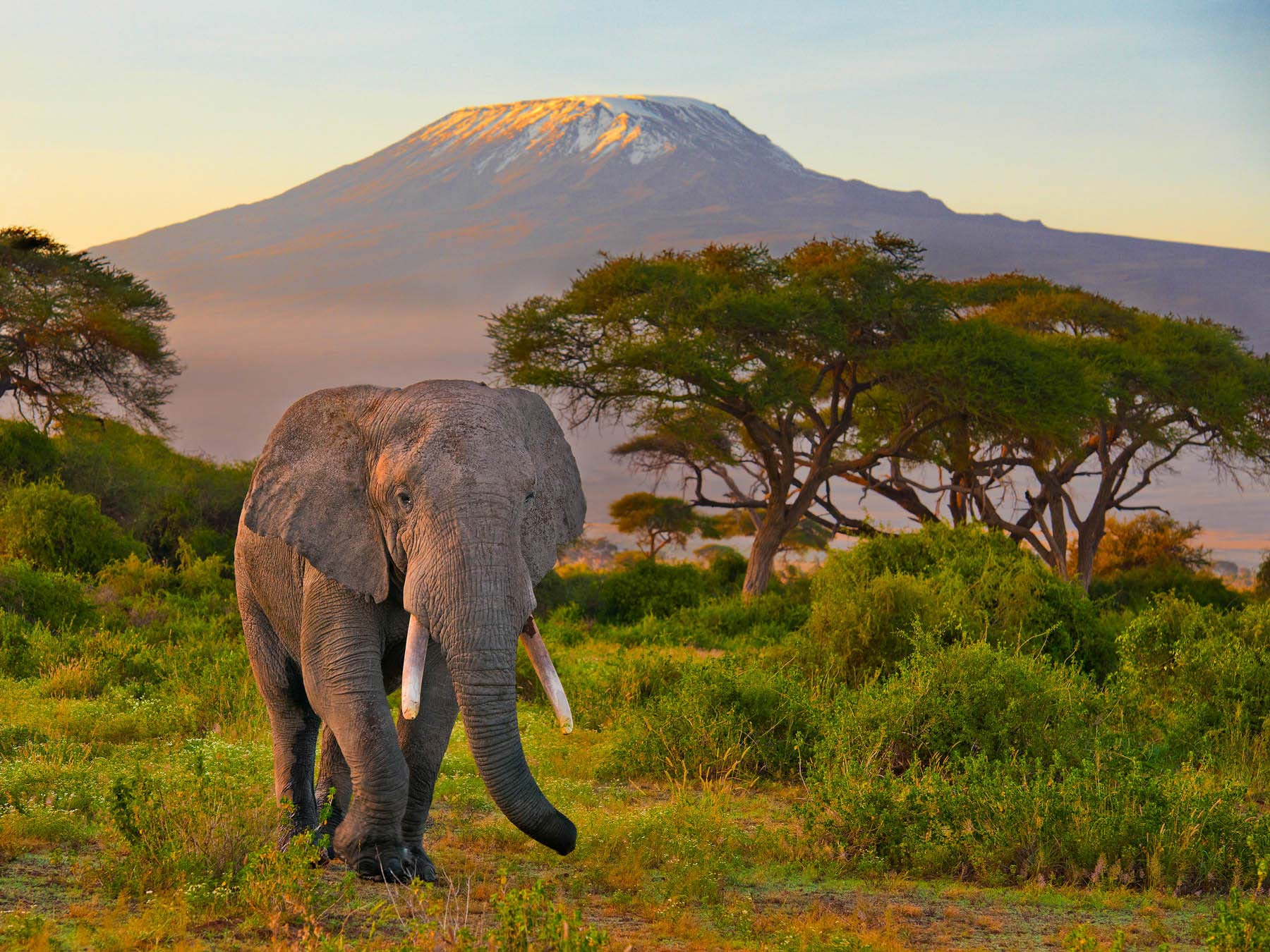 Bull elephant in front of Mount Kilimanjaro, Kenya.