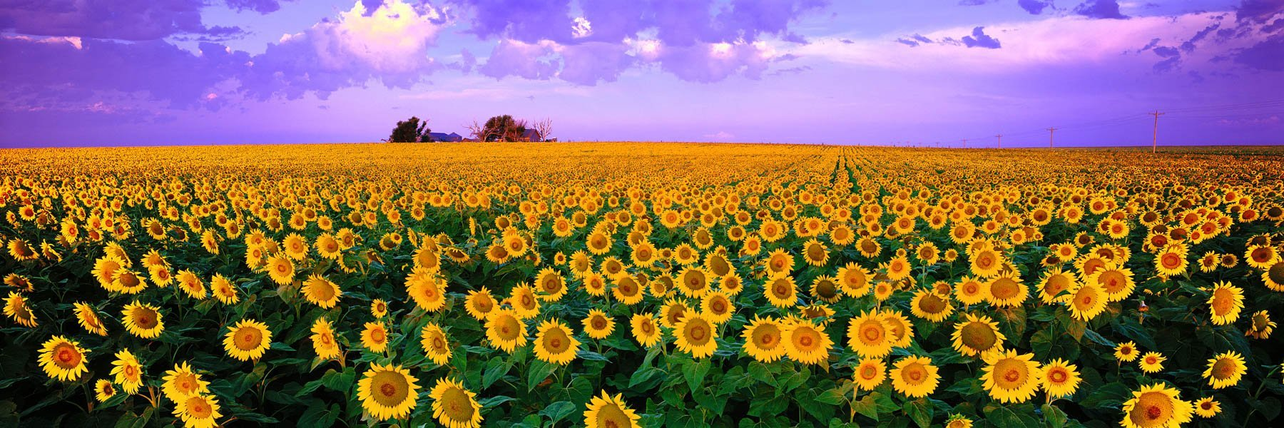 A field of sunflowers in full bloom, Kansas, USA.