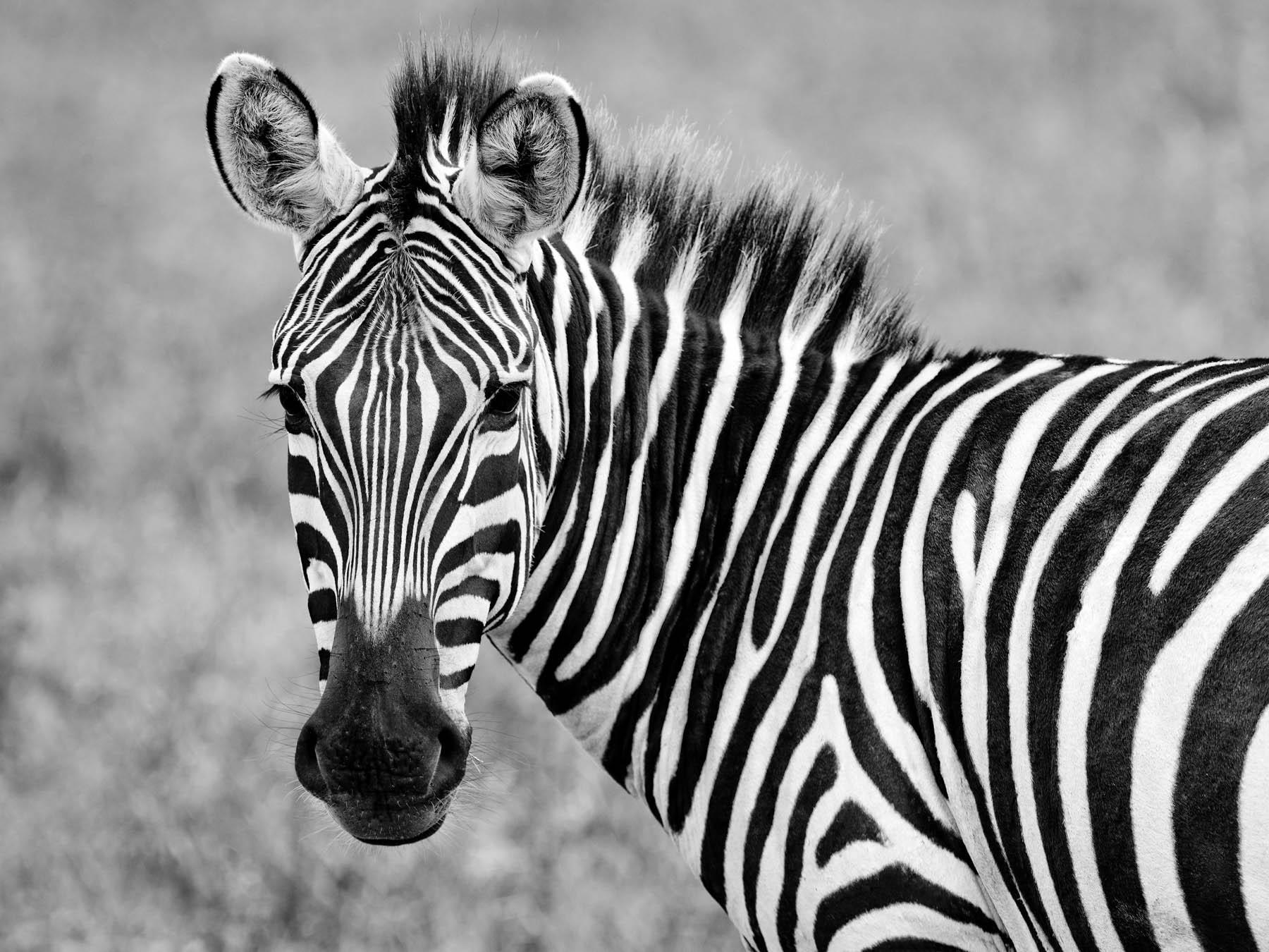 Close up view of a zebra, Tanzania, Africa.