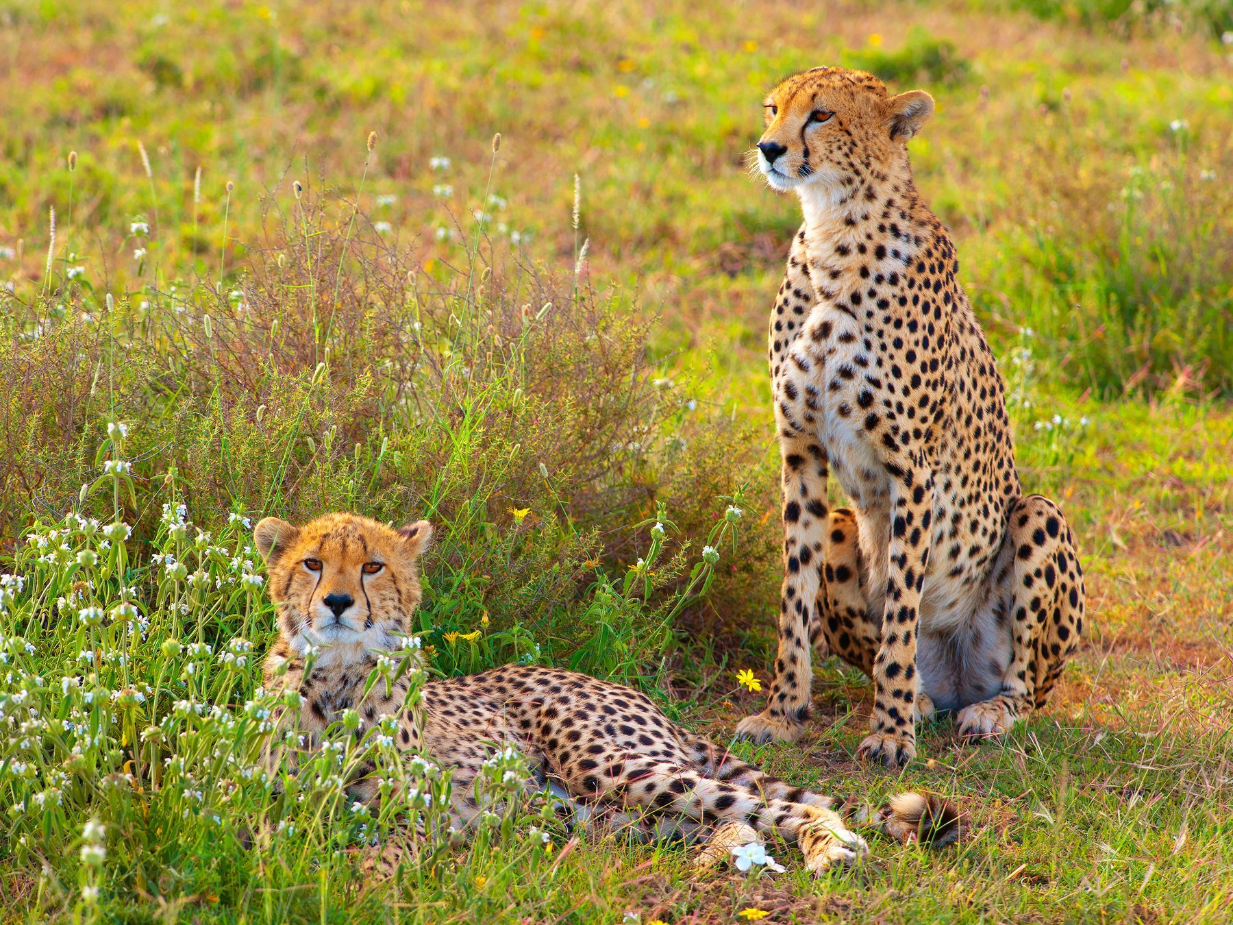 Two cheetahs resting yet still watchful, Serengeti, Tanzania, Africa.