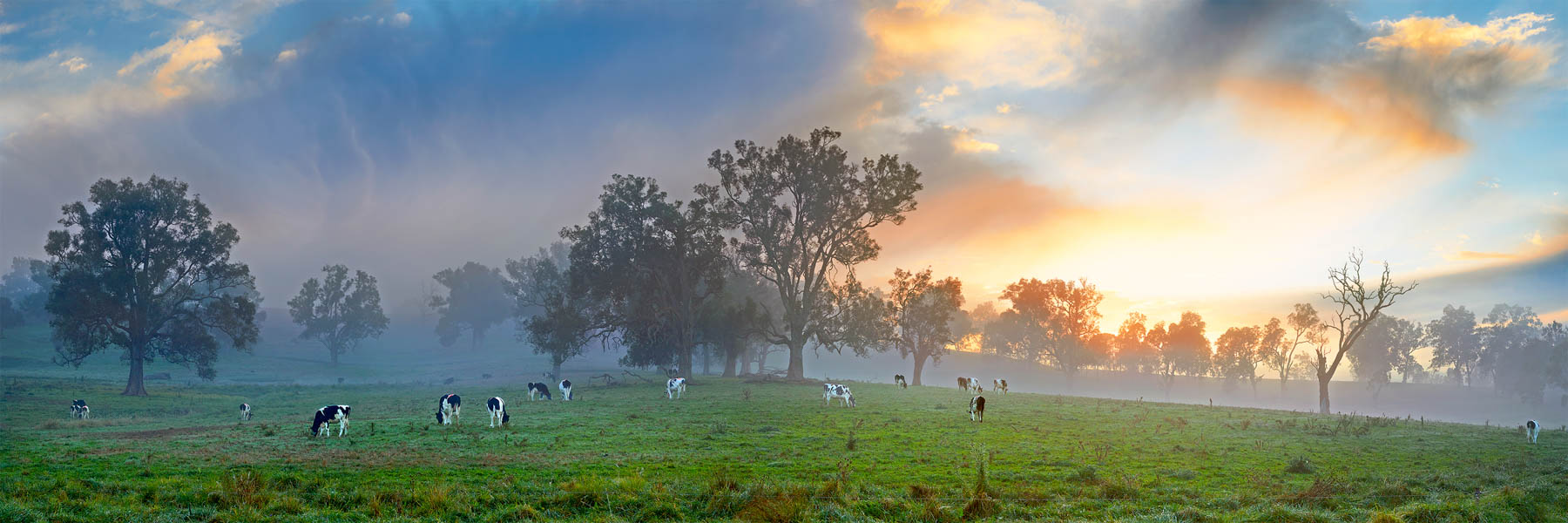 A golden sunrise breaking through the clouds and mist over cattle grazing in Bega, NSW, Australia.