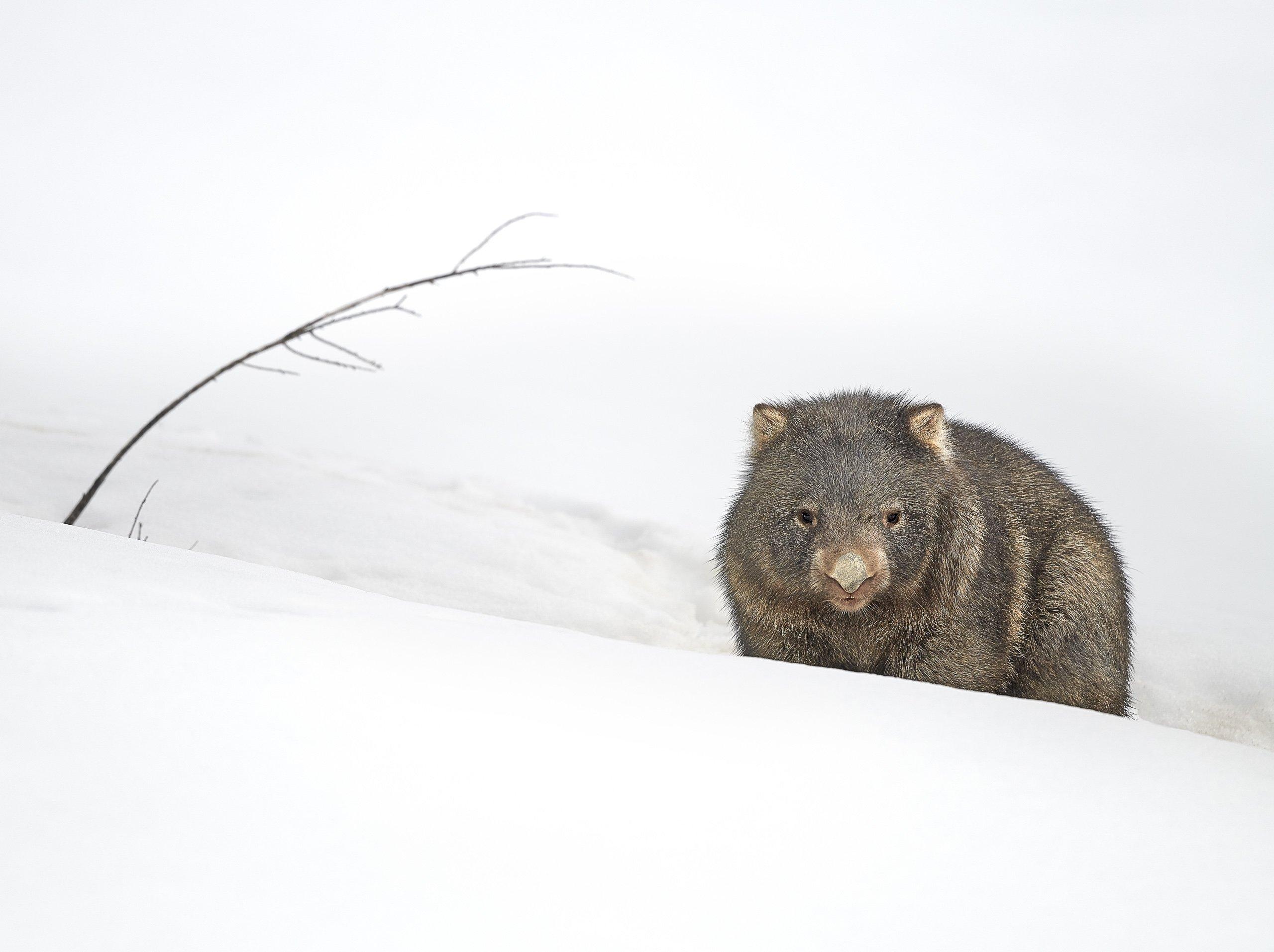 Matilda the wombat in snow, Koscuiszko National Park, NSW, Australia.