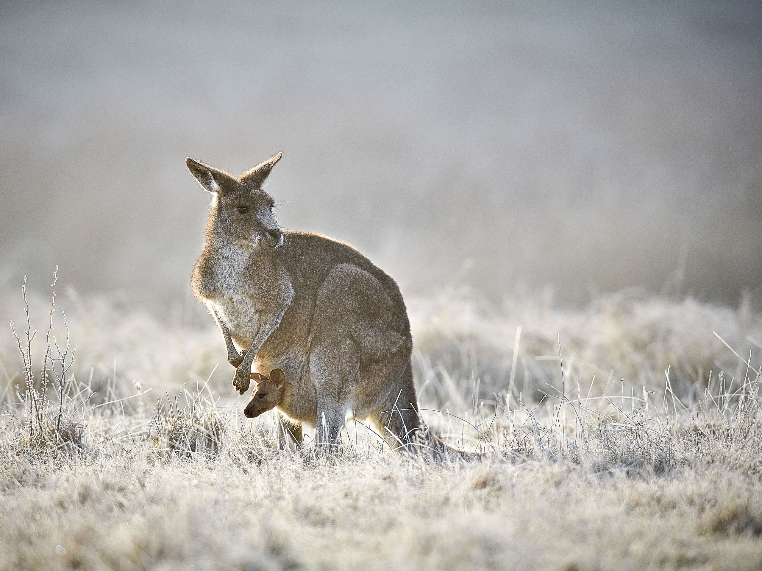 Kangaroo with joey in her pouch, Kosciuszko National Park, NSW, Australia.
