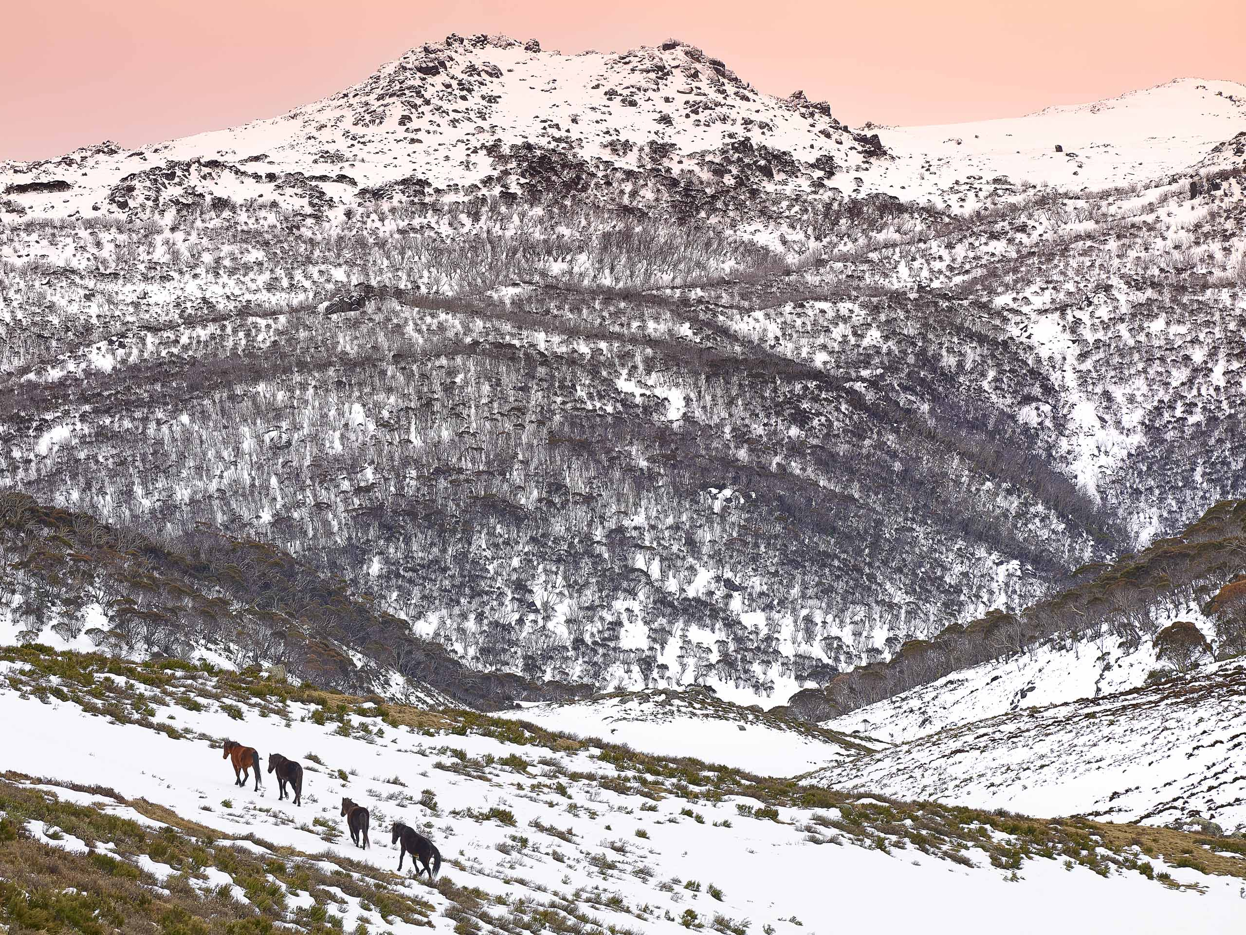 Brumbies in the snow, Koscuiuszko National Park, NSW, Australia.