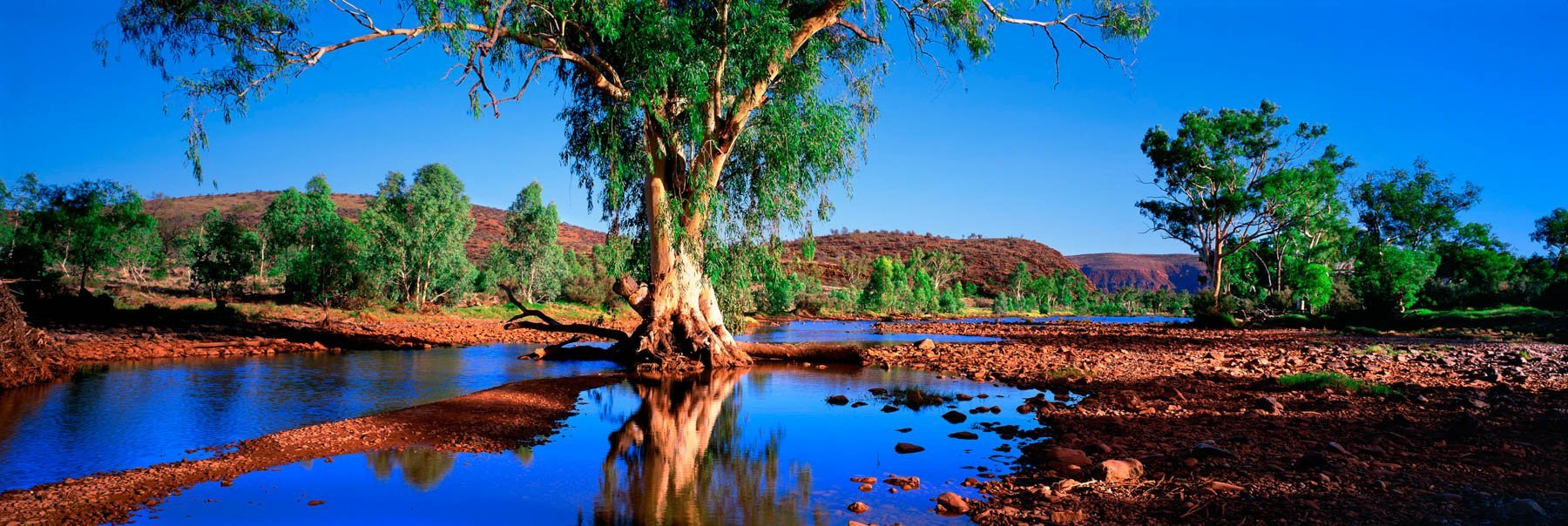 River gums at Finke River Crossing, NT, Australia.