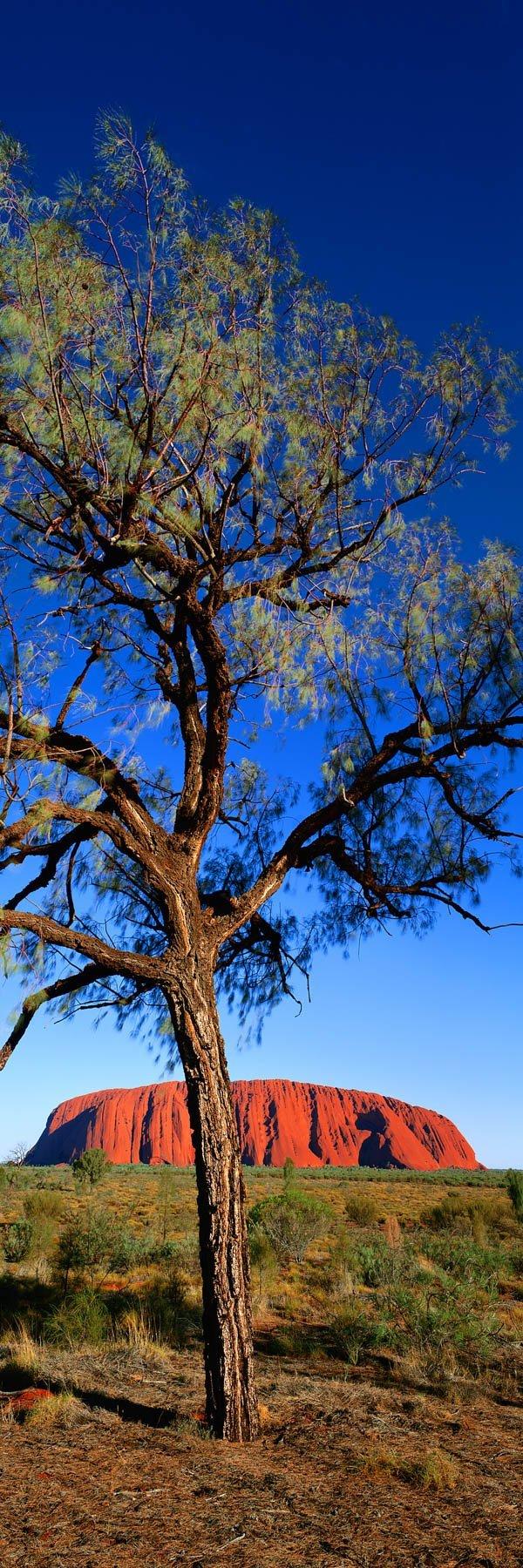 A desert oak, with Uluru in the background, NT, Australia.