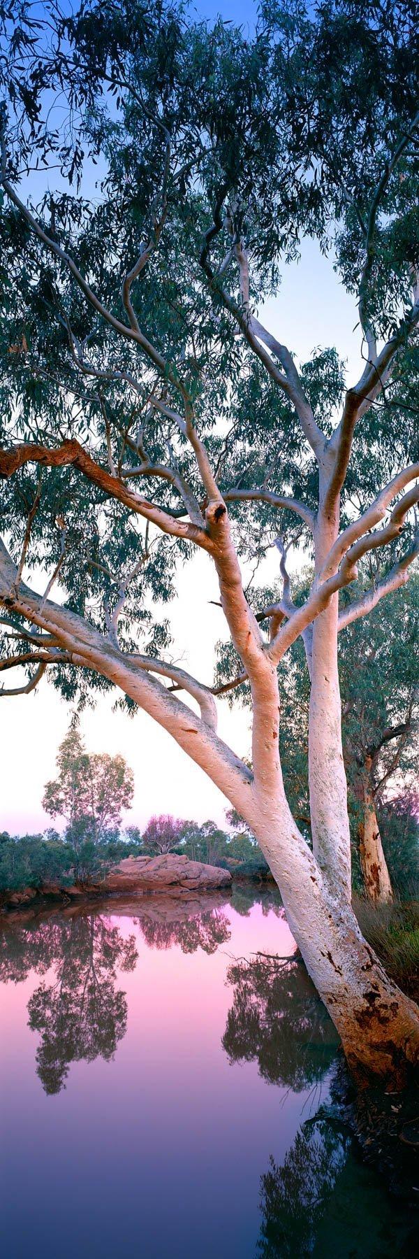 A peaceful pastel sunset over river gums beside a billabong, NT, Australia.