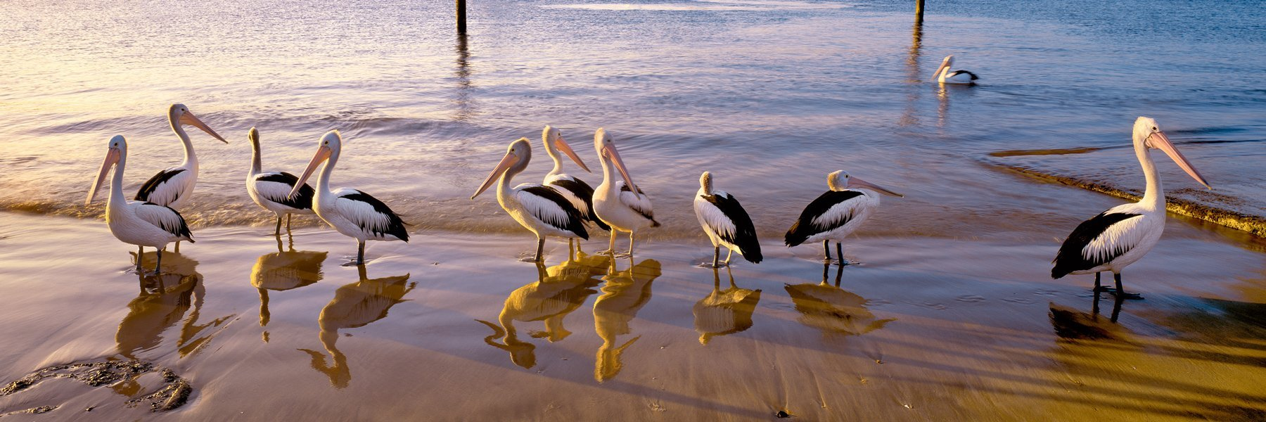 Pelicans waiting for a feed, Terrigal, Central Coast, NSW, Australia.