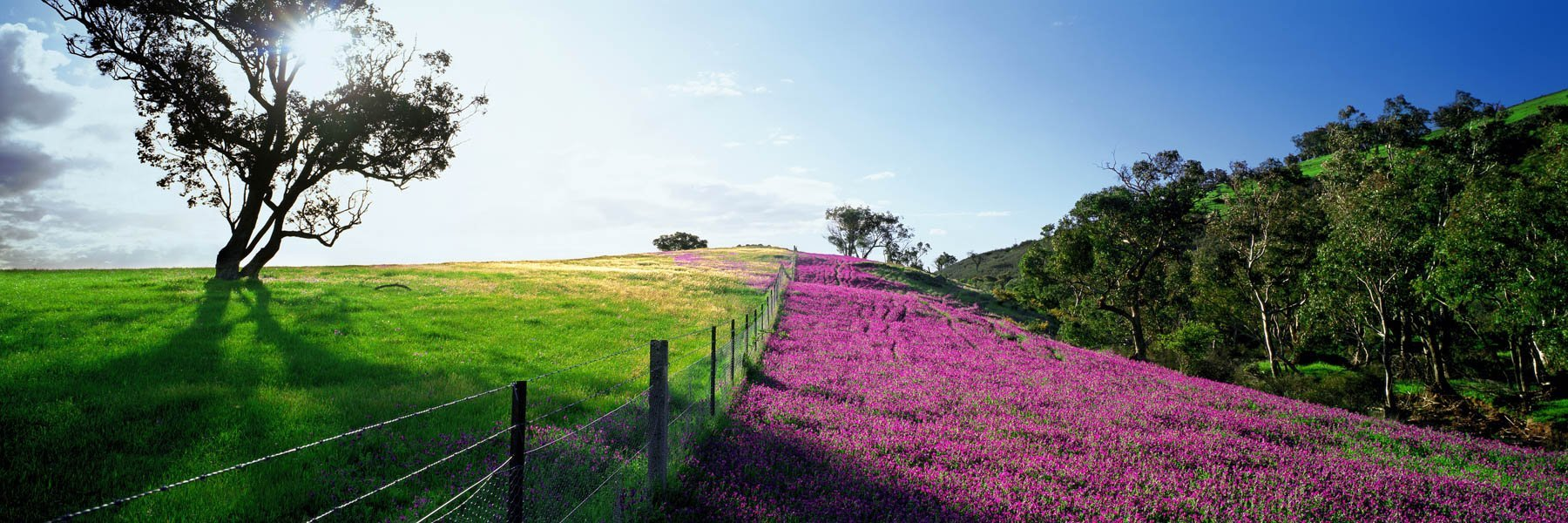 A wire fence separating a field of wildflowers from green pasture on a farm, NSW, Australia.