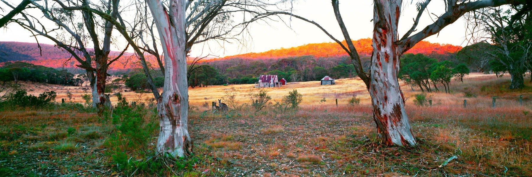 Kangaroos grazing near historic Coolamine Homstead, Kosciuszko National Park, NSW, Australia.