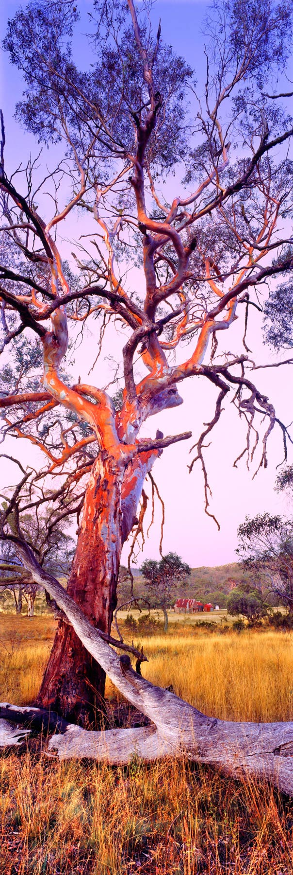The rust red bark of a eucalypts aglow in a pastel sunset, NSW, Australia.