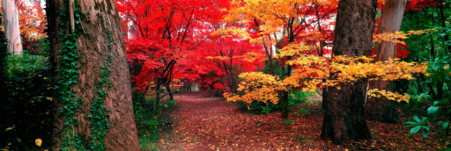 Trees wearing glowing red and yellow tones of autumn at Mount Wilson, Blue Mountains, NSW, Australia.