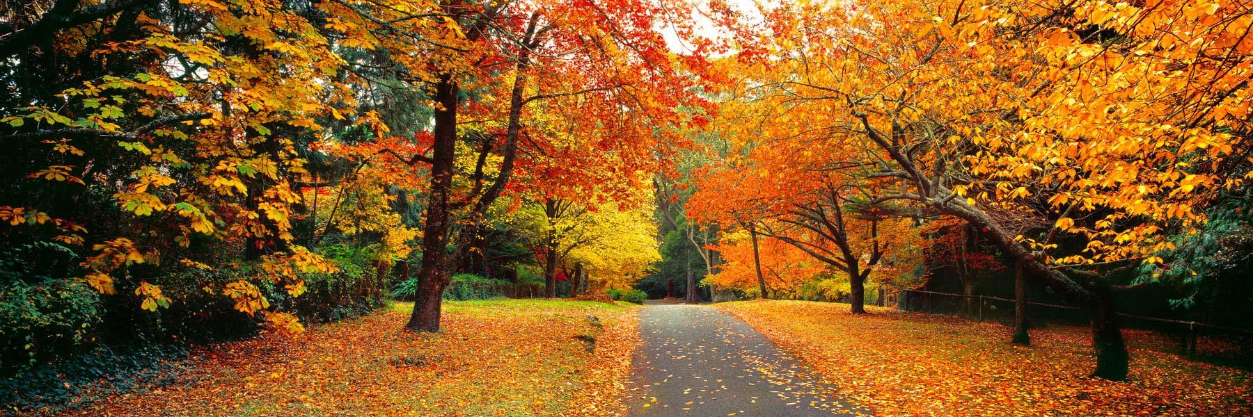 Brilliant display of autumn colours in Mount Wilson, Blue Mountains, NSW, Australia.