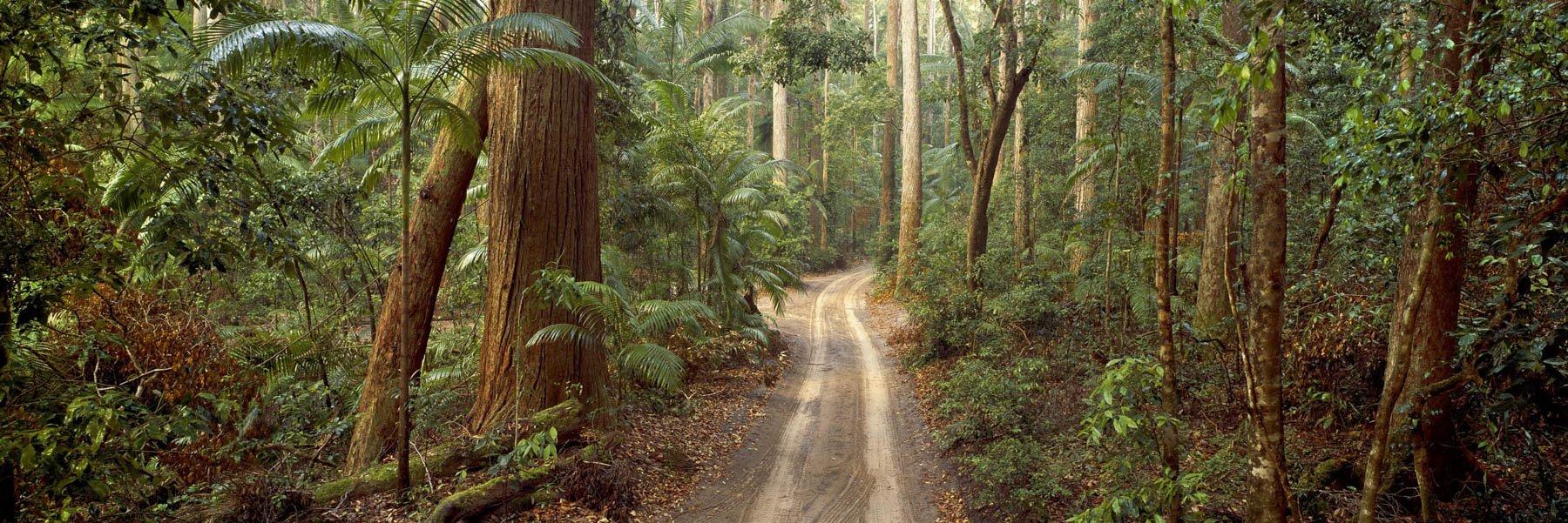 Ferns amongst the rainforest trees in Pile Valley, Fraser Island, Qld, Australia.