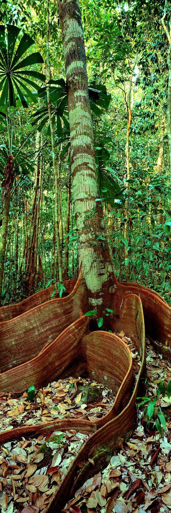 The rainforest at Mossman Gorge, Qld, Australia.
