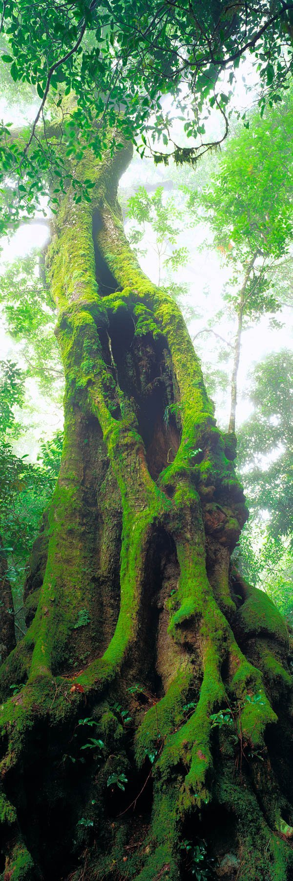 A massive, moss-covered tree in the rainforest, Qld, Australia.